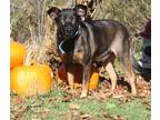 Adopt Roxy (Spayed) a Black - with Brown, Red, Golden, Orange or Chestnut