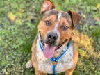 Adopt * a Merle American Pit Bull Terrier / Australian Cattle Dog / Mixed dog in