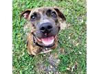 Adopt Cookie a Brindle American Pit Bull Terrier / Mixed dog in Sarasota