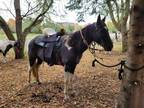 BlackWhite Tennessee Walking Horse TrailFamily Horse Mare 10 Yrs Old