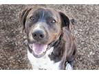 Adopt *BIG MAC a Brindle - with White American Pit Bull Terrier / Border Collie