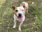 Adopt ANGELINA a Staffordshire Bull Terrier, Mixed Breed