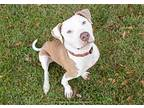 Sunny American Pit Bull Terrier Adult Male