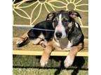 Adopt Evie a White Shepherd (Unknown Type) / Mixed dog in New Iberia