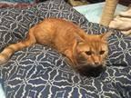 Adopt Hobbs a Orange or Red Tabby Domestic Shorthair (short coat) cat in