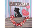 Adopt LOKI a Boxer, Pit Bull Terrier