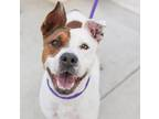 Adopt A583233 a American Staffordshire Terrier, Mixed Breed