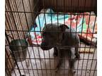 Adopt Zoey (Paralyzed, has her own cart) Video available upon request a Pit Bull
